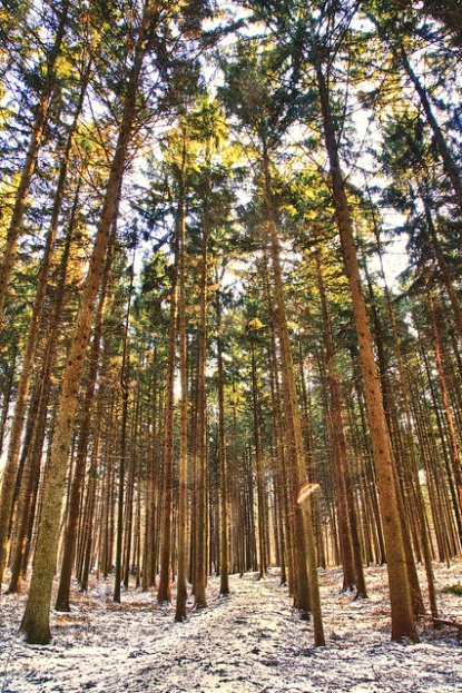 Path through Pines - photo by Chris Smith