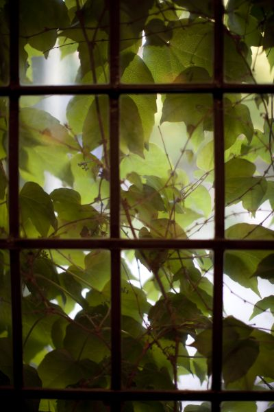 Looking out at ivy covering windows on a campus building